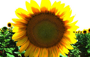 sunflower-1530628-1280x960_picture_wynand_van_nieker_freeimages.jpg